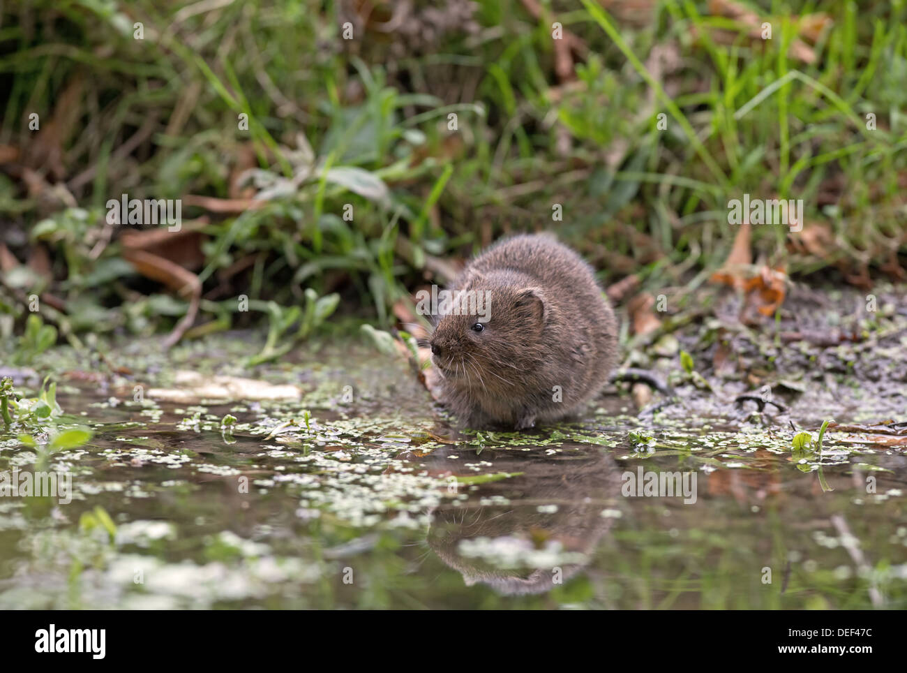 Water Vole - Arvicola terrestris, beside a stream, Uk - Stock Image