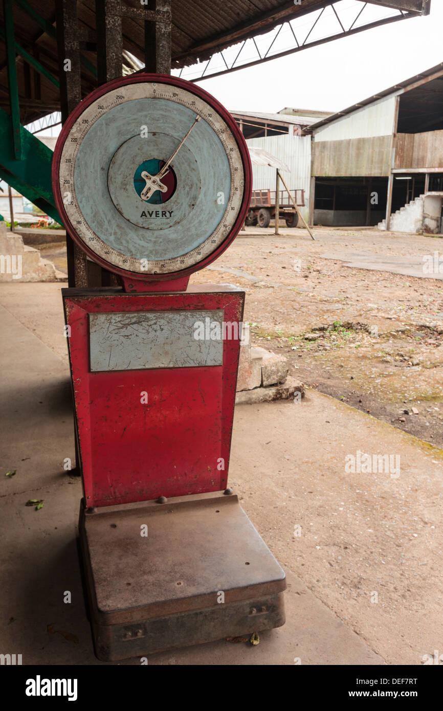 Africa, Cameroon, Buea. Scale at Tole Tea Estate. - Stock Image