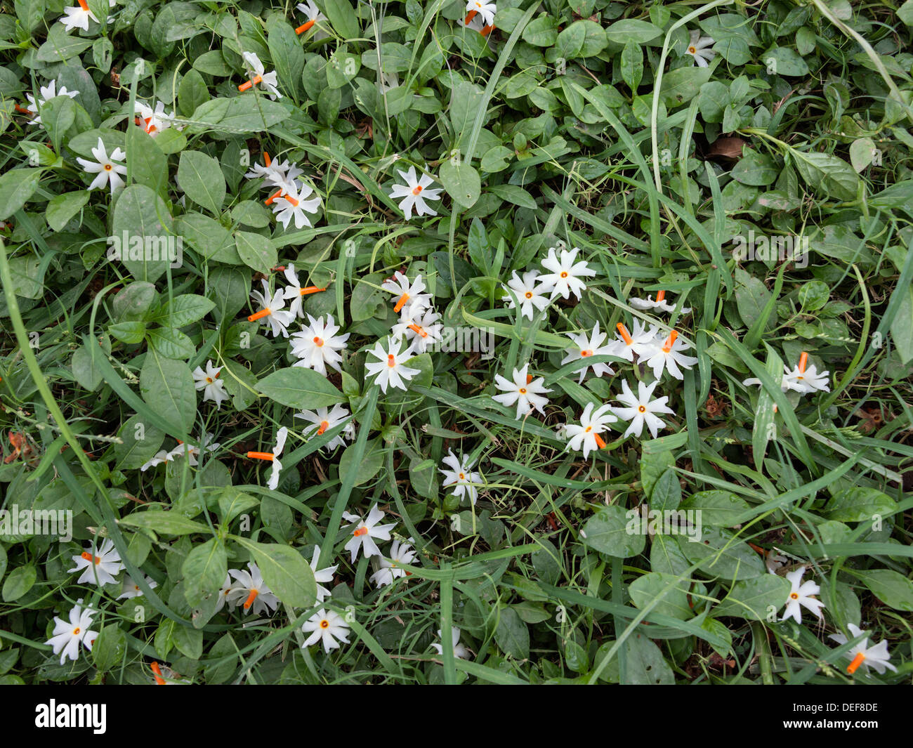 Night Jasmine High Resolution Stock Photography And Images Alamy