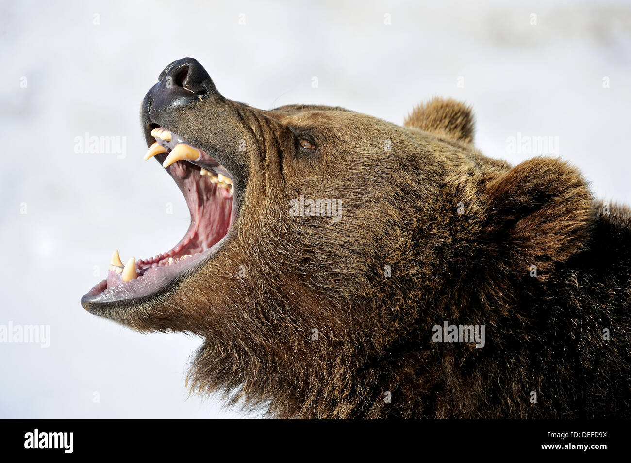 Grizzly bear Ursus arctos - captive snarling - Stock Image