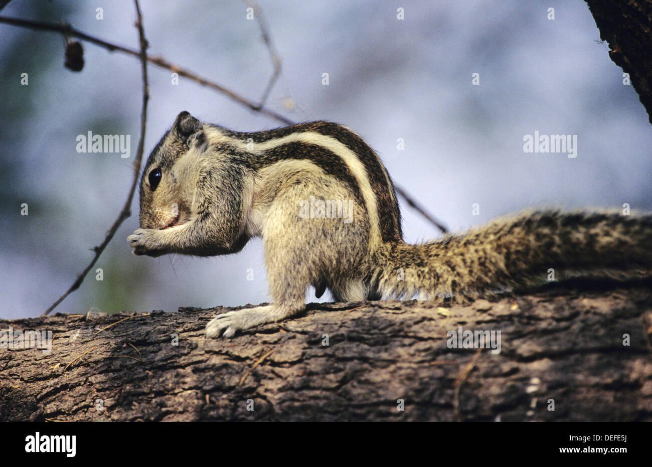 Three Striped Palm Squirrel (Funambulus palmarum) at Keoladev National Park. Bharatpur. Rajasthan. India - Stock Image