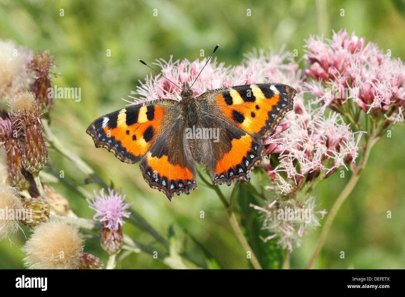 Small Tortoiseshell (Aglais urticae) butterfly with open wings, North Rhine-Westphalia, Germany - Stock Image