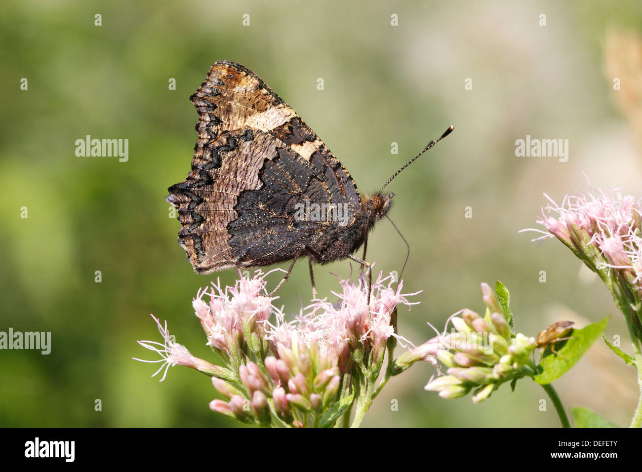 Small Tortoiseshell (Aglais urticae) butterfly showing the underside of its wing sitting on Hemp Agrimony (Eupatorium - Stock Image