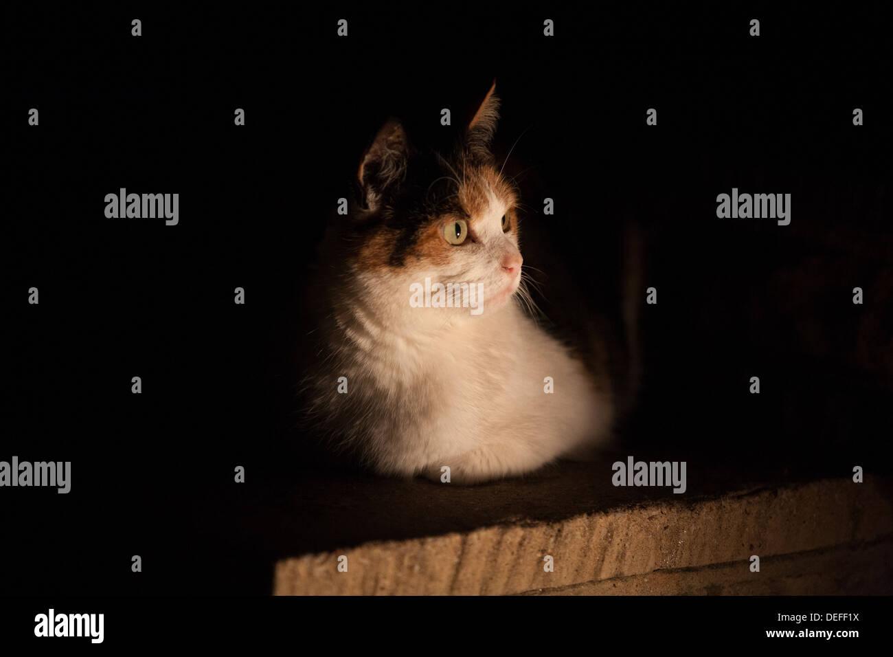 Tortoiseshell domestic shorthaired Cat at night - Stock Image