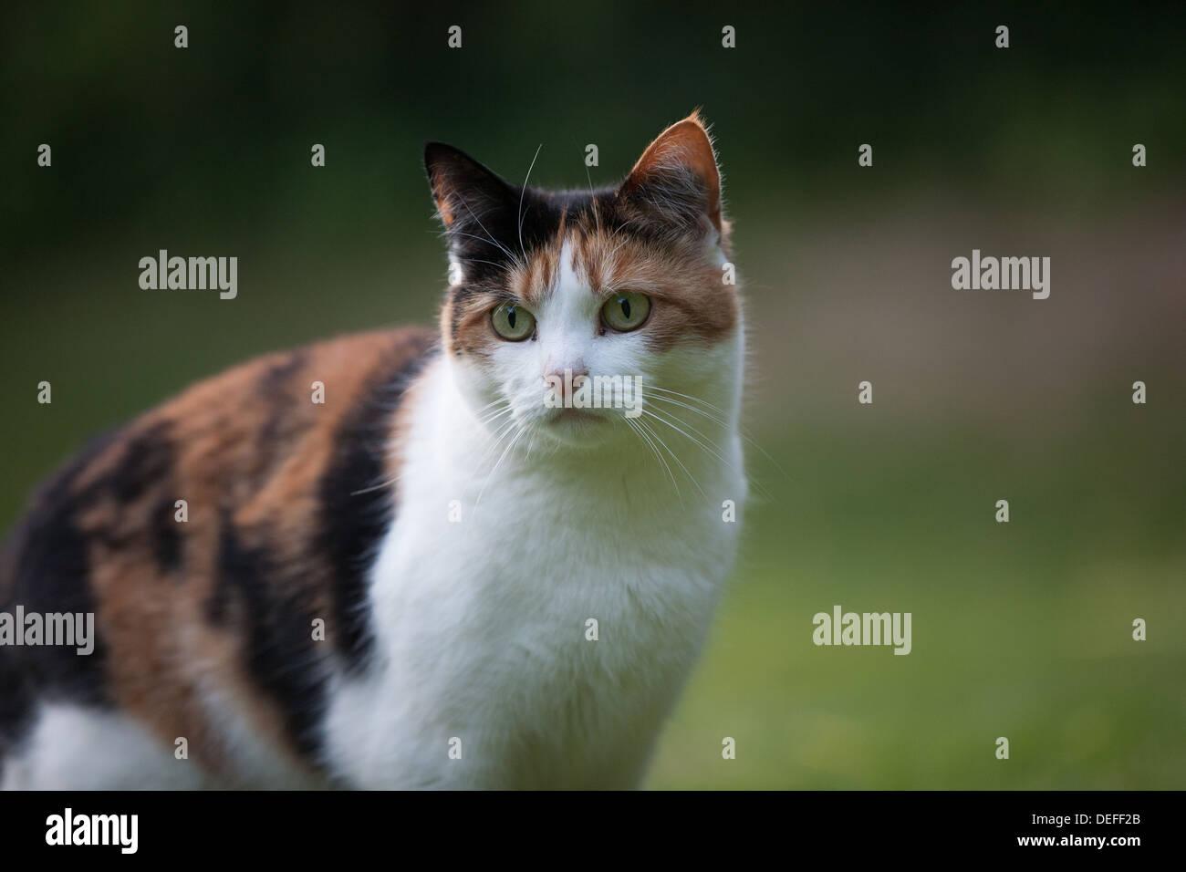 Tortoiseshell domestic shorthaired Cat - Stock Image