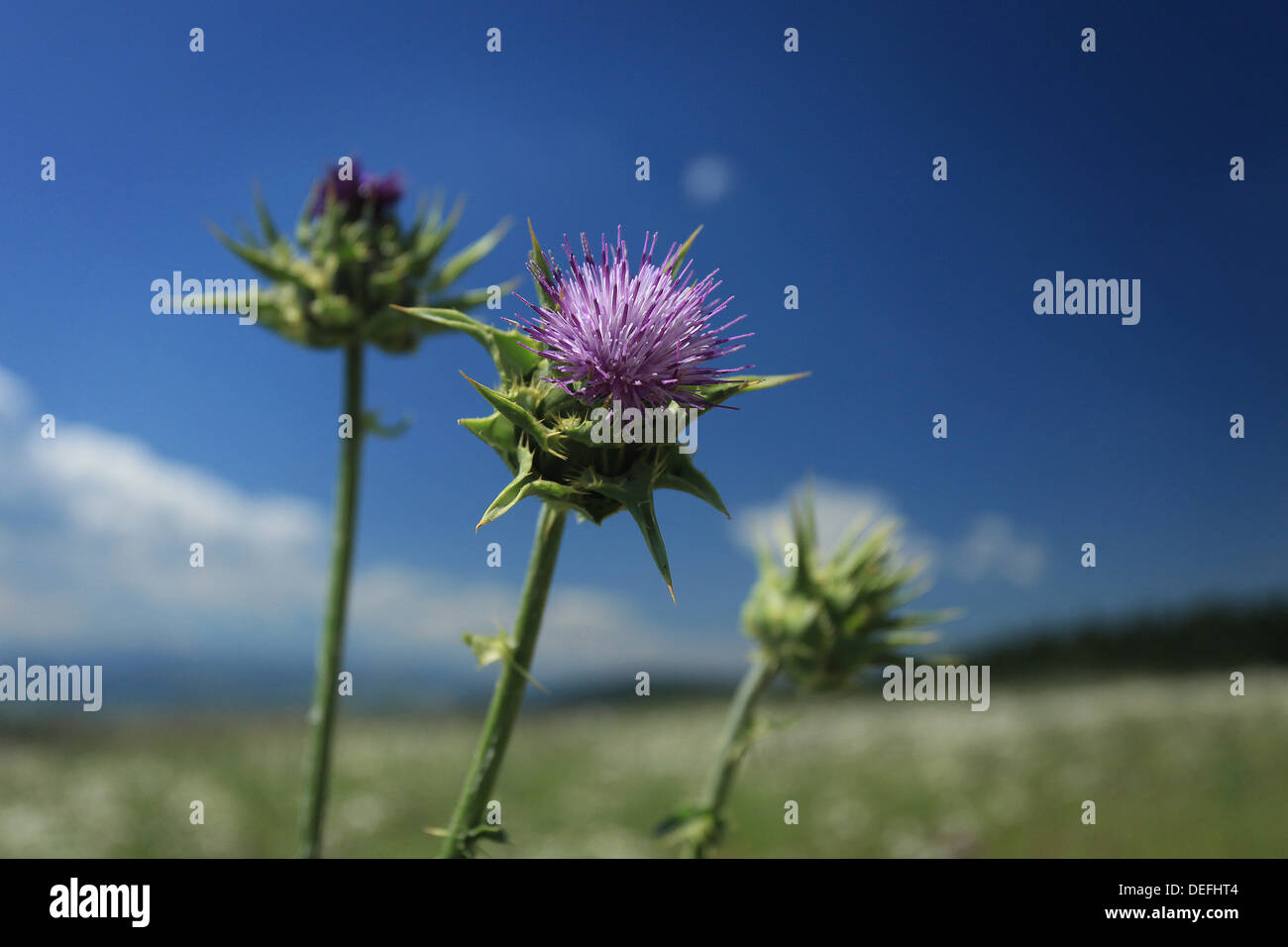 thistle, prickle, spine, thorn - Stock Image