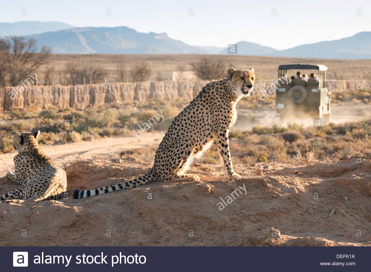 Safari jeep leaving cheetahs (Acinonyx jubatus) on game drive, Inverdoorn Game Reserve, Karoo desert, Ceres, South Africa - Stock Image