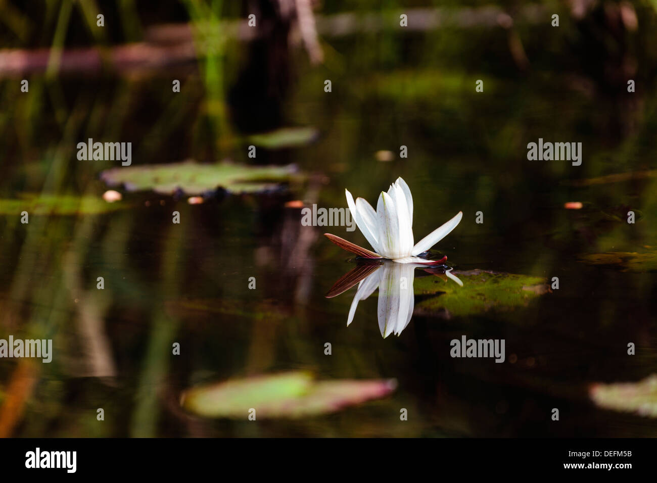 Africa, Liberia, Monrovia. Lily in bloom on the Du River. - Stock Image