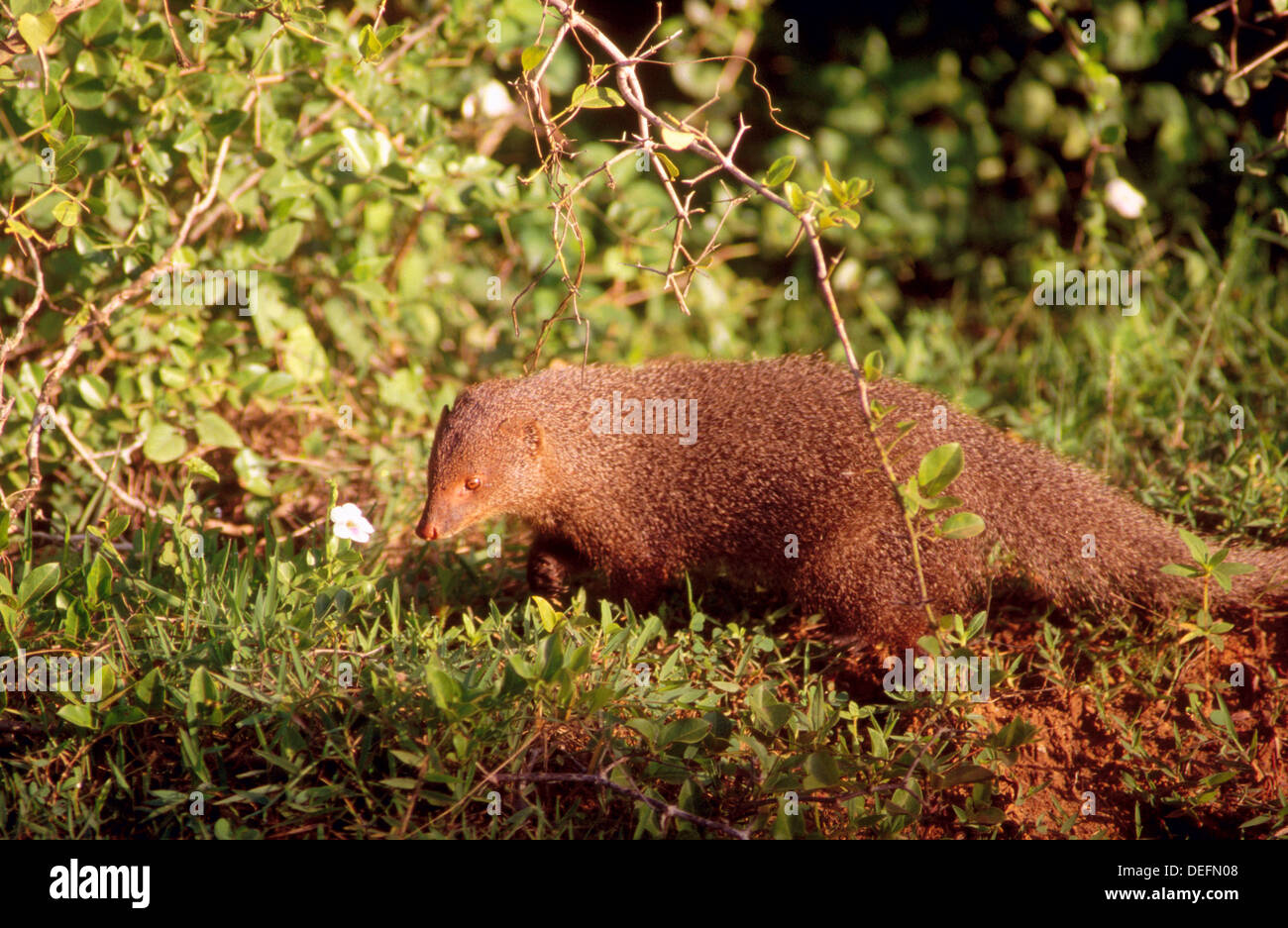 Ceylon brown mongoose (Herpestes fuscus rubidor). Yala West National Park (Ruhuna). Sri Lanka - Stock Image
