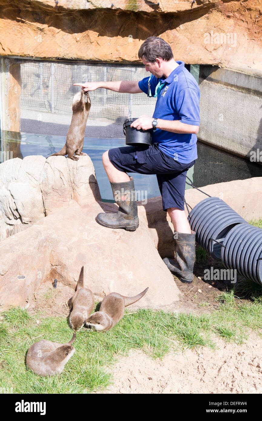 Living Coasts Torquay zoo keeper with otters. - Stock Image