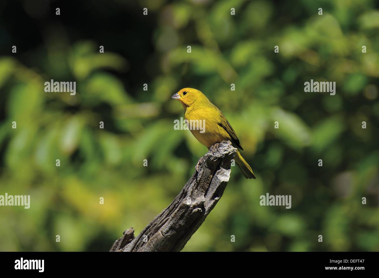 Brazil, Mato Grosso, Pantanal, Saffron finch, Sicalis flaveola, bird, birds, bird fauna Pantanal, travel, tourism, nature, green bird, World Nature Heritage, Barao de Melgaco, Pantanal birds, bird watching, ornithology, - Stock Image