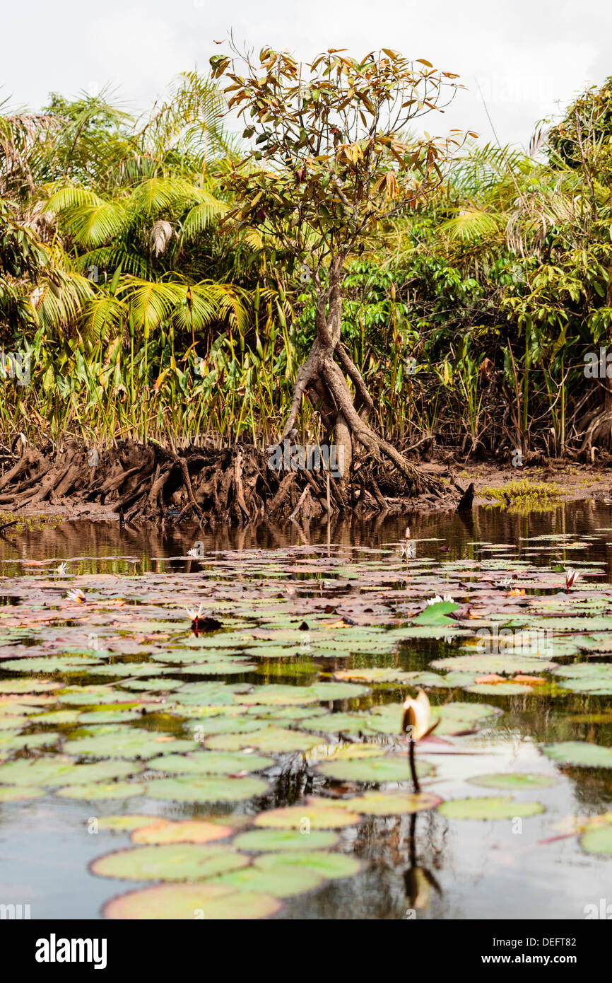 Africa, Liberia, Monrovia. View of mangroves on the Du River. - Stock Image