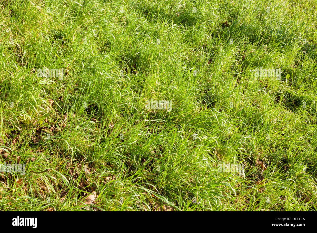 Long uncut grass and dead leaves on an overgrown lawn on uneven ground - Stock Image