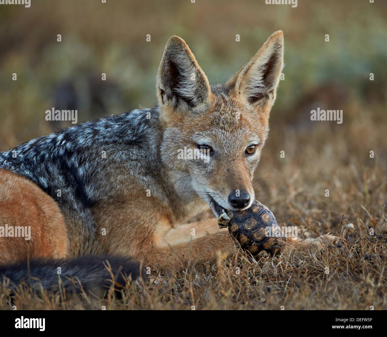 Black-backed jackal (Canis mesomelas) eating a Leopard tortoise (Geochelone pardalis), Addo Elephant National Park, South Africa - Stock Image