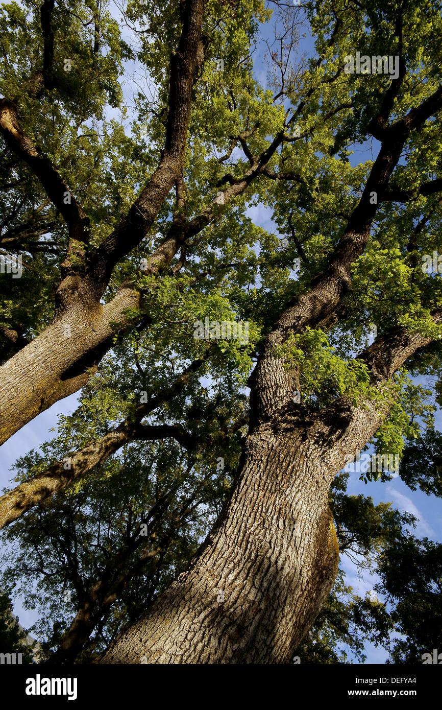 Oak (Quercus robur), Isabena valley. Huesca province, Aragon, Spain - Stock Image