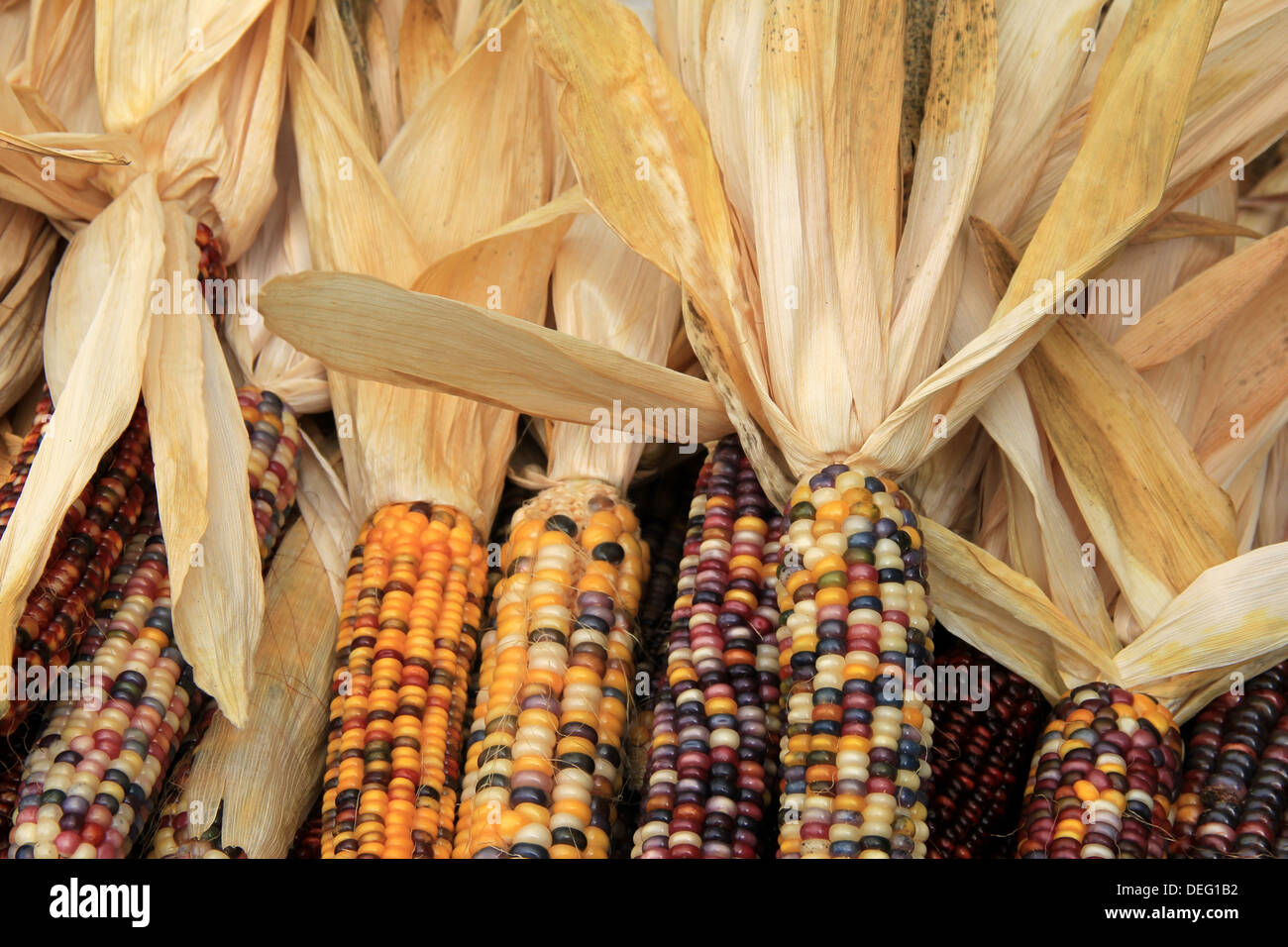 Colorful Indian corn with husks pulled back, displayed at farmers market, a perfect decoration for anyone's front Stock Photo