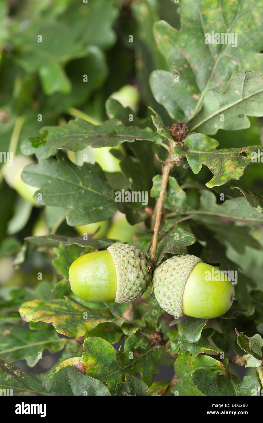 Quercus robur mature oak acorns becoming ready in early autumn late summer - Stock Image