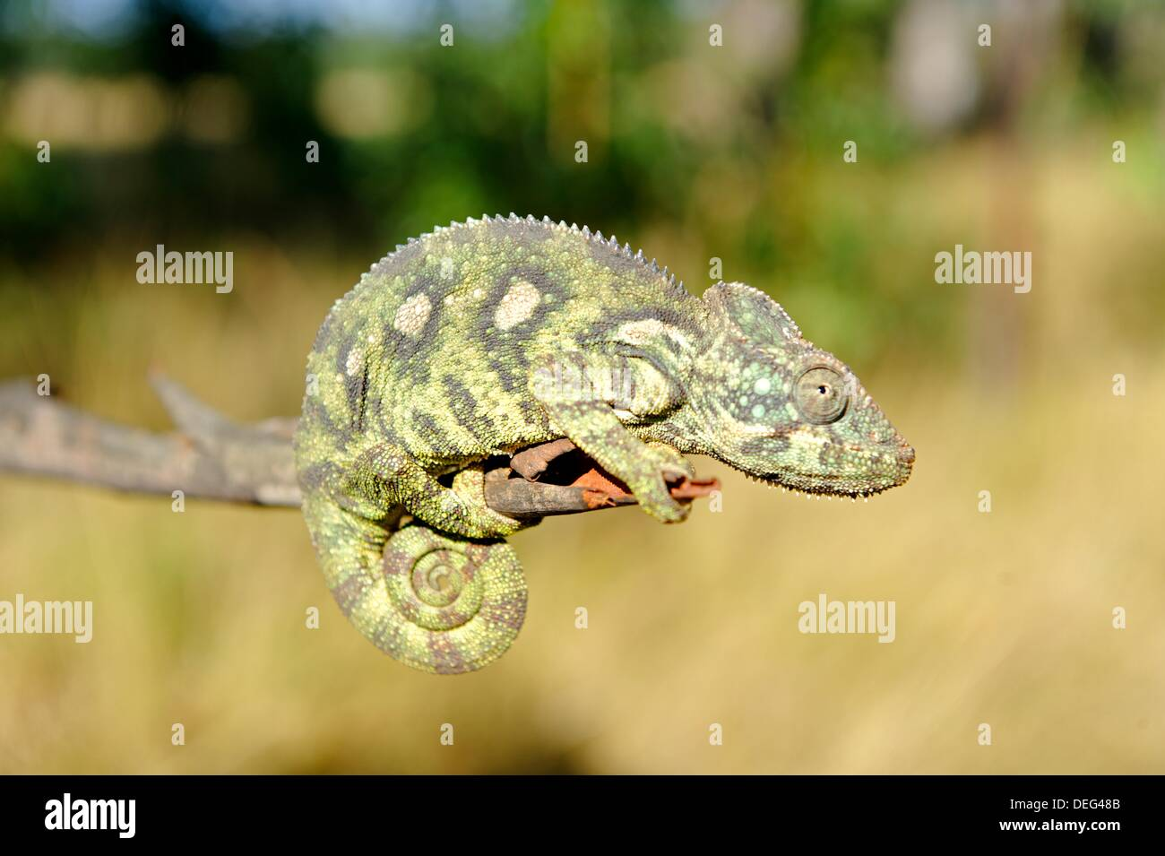 Furcifer is a genus of chameleons whose members are mostly endemic to Madagascar. Isalo National Park is a National Park known - Stock Image