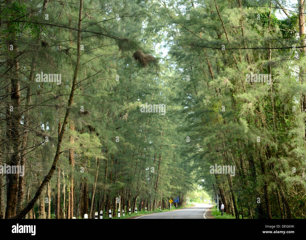 Avenue lined with casuarina tree, Si Kao, Trang, Thailand, Southeast Asia, Asia - Stock Image