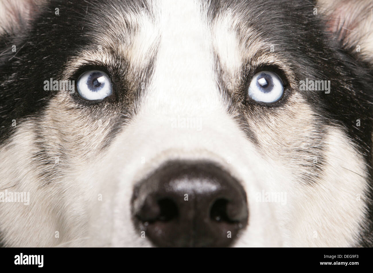 Siberian Husky Eyes Close Up Abstract Stock Photo 60594999 Alamy