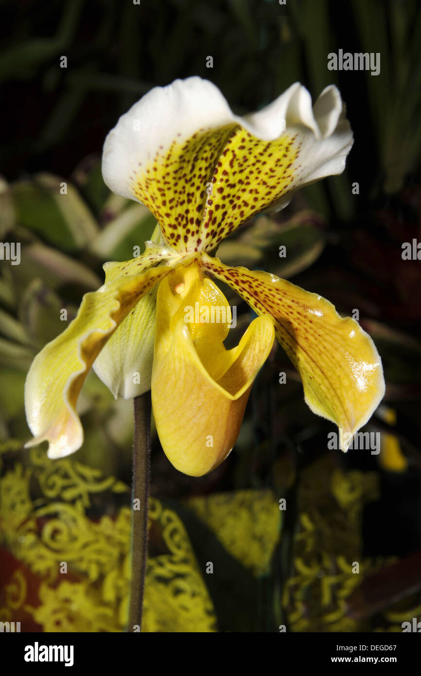 Yellow Orchid Hybrid Flowers On Display At Florida State Fairgrounds