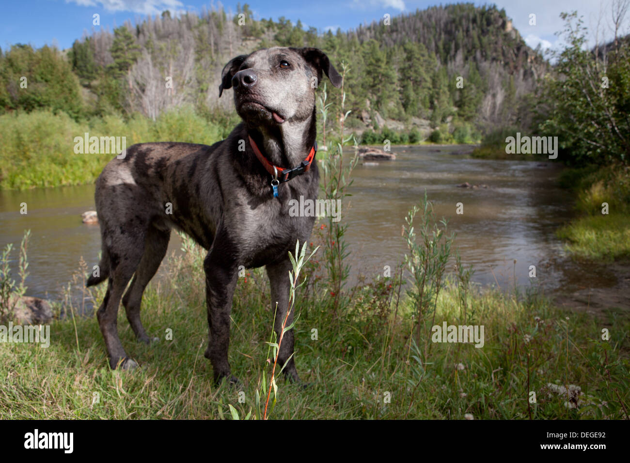 A Catahoula Leopard Dog stands in front of a scenic river. - Stock Image