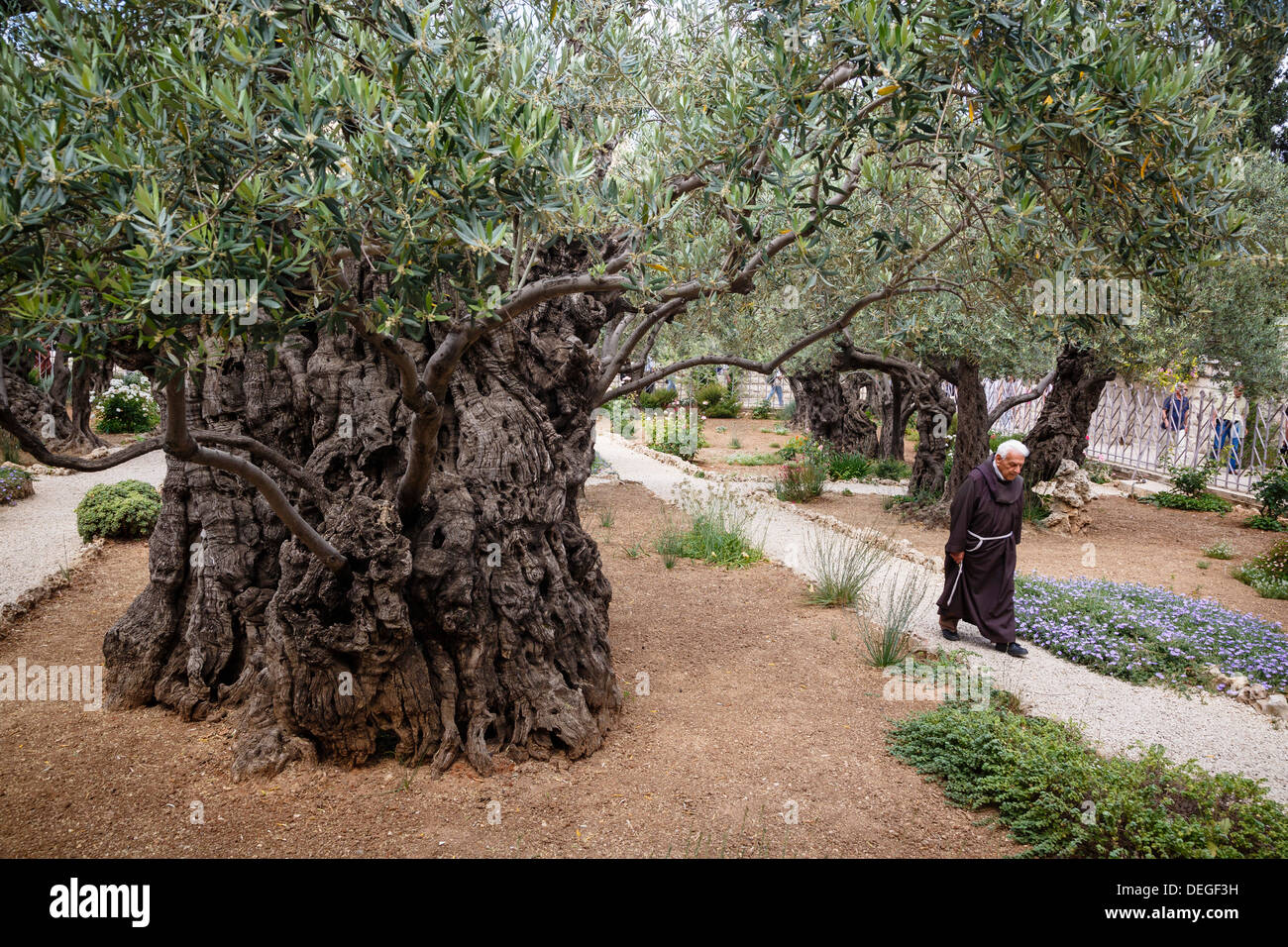 Olive Trees In The Garden Of Gethsemane, Jerusalem, Israel, Middle East    Stock