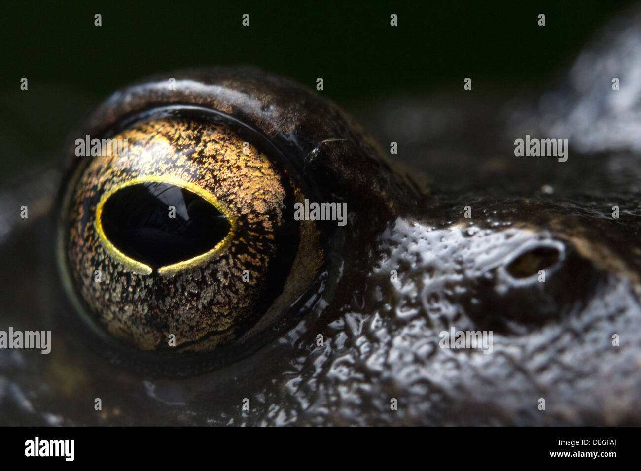 The eye of a common frog - Stock Image