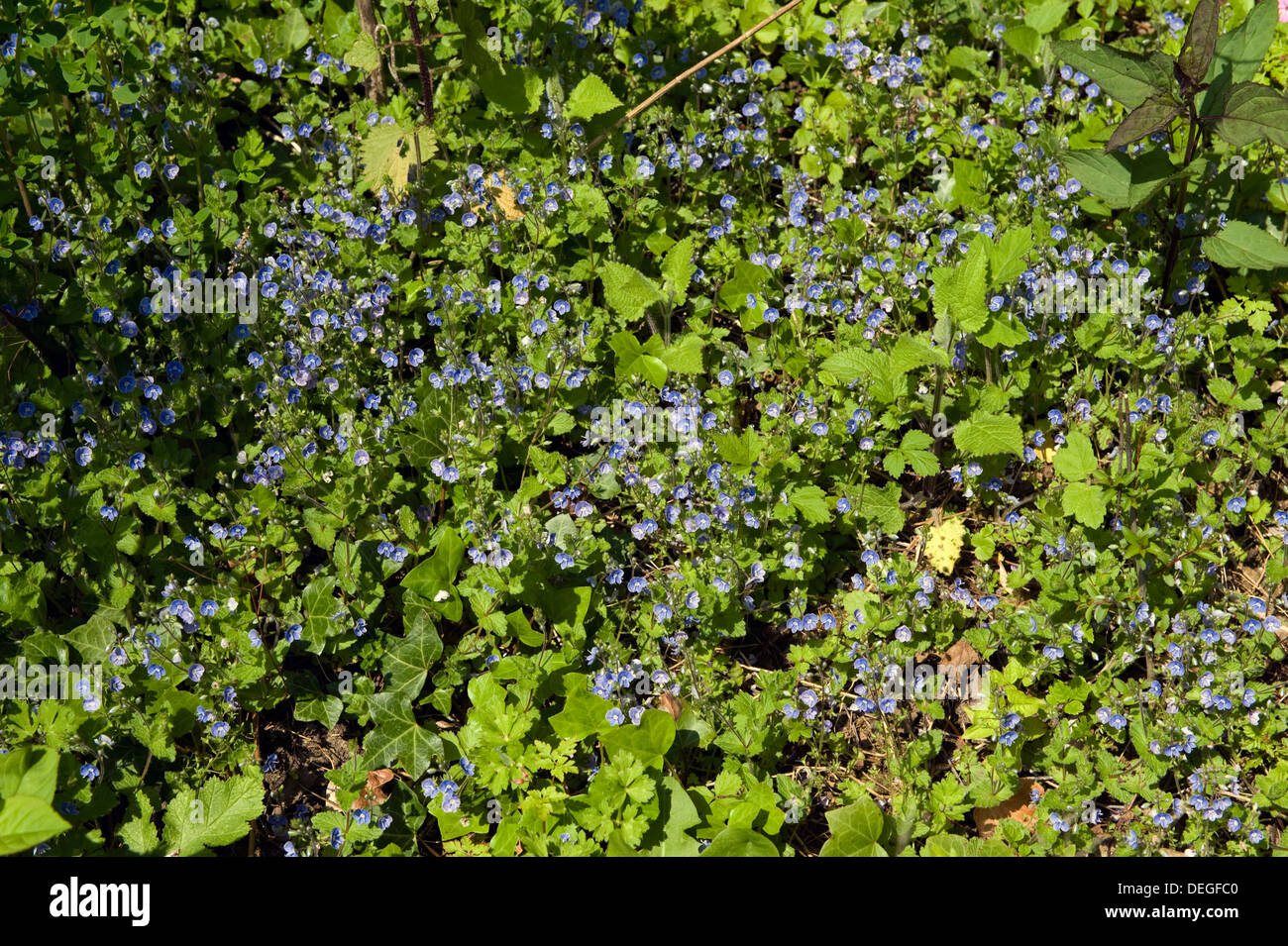 Bird's-eye or germander speedwell, Veronica chamaedrys, flowering - Stock Image