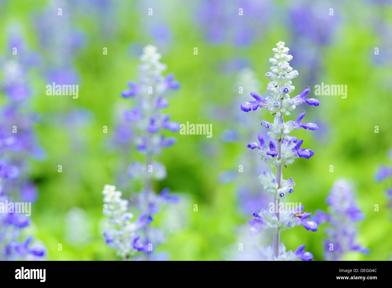 Blue salvia - Stock Image
