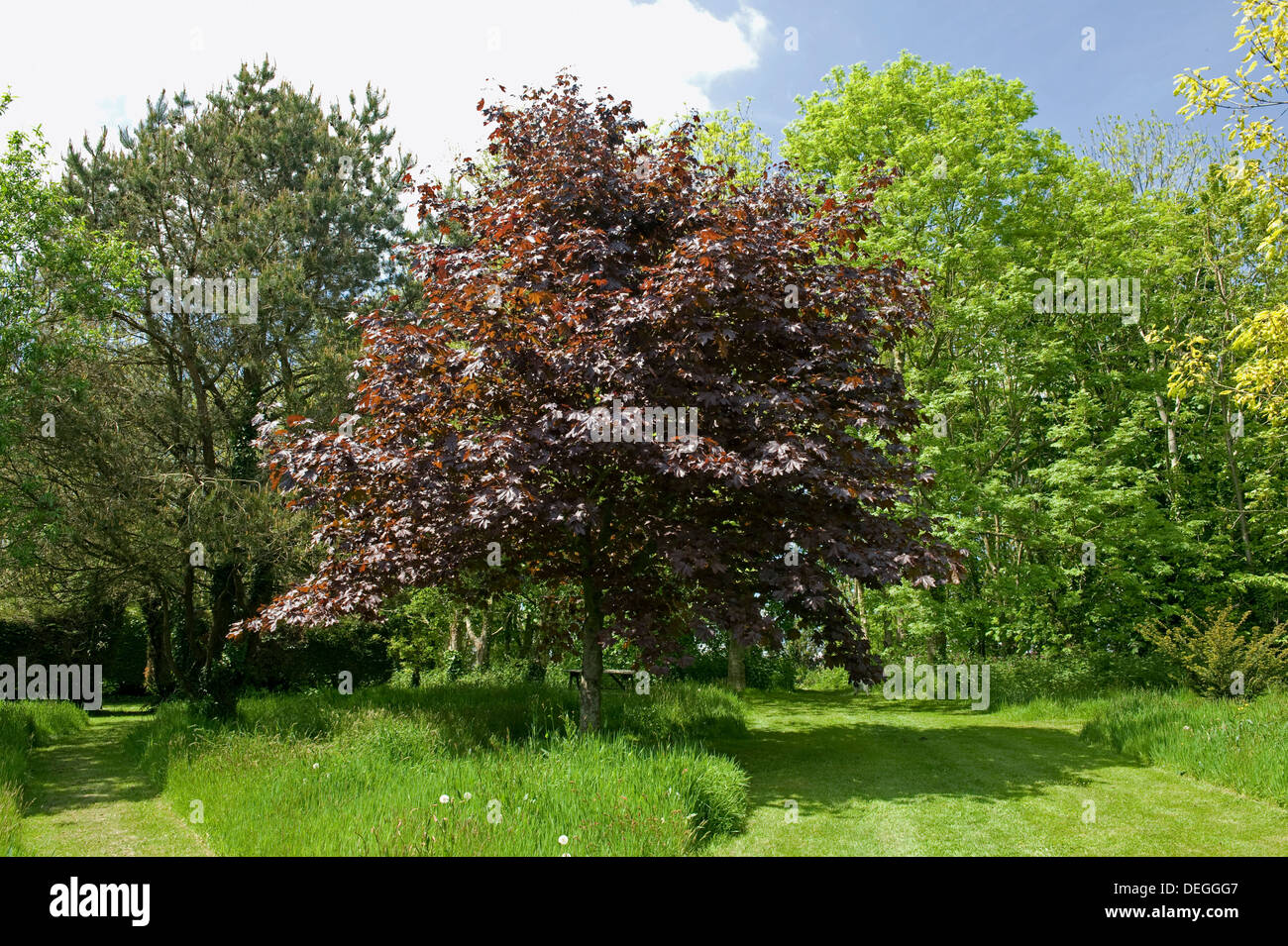 A red Acer maple Crimson King in young leaf in a wildlife garden and woodland - Stock Image