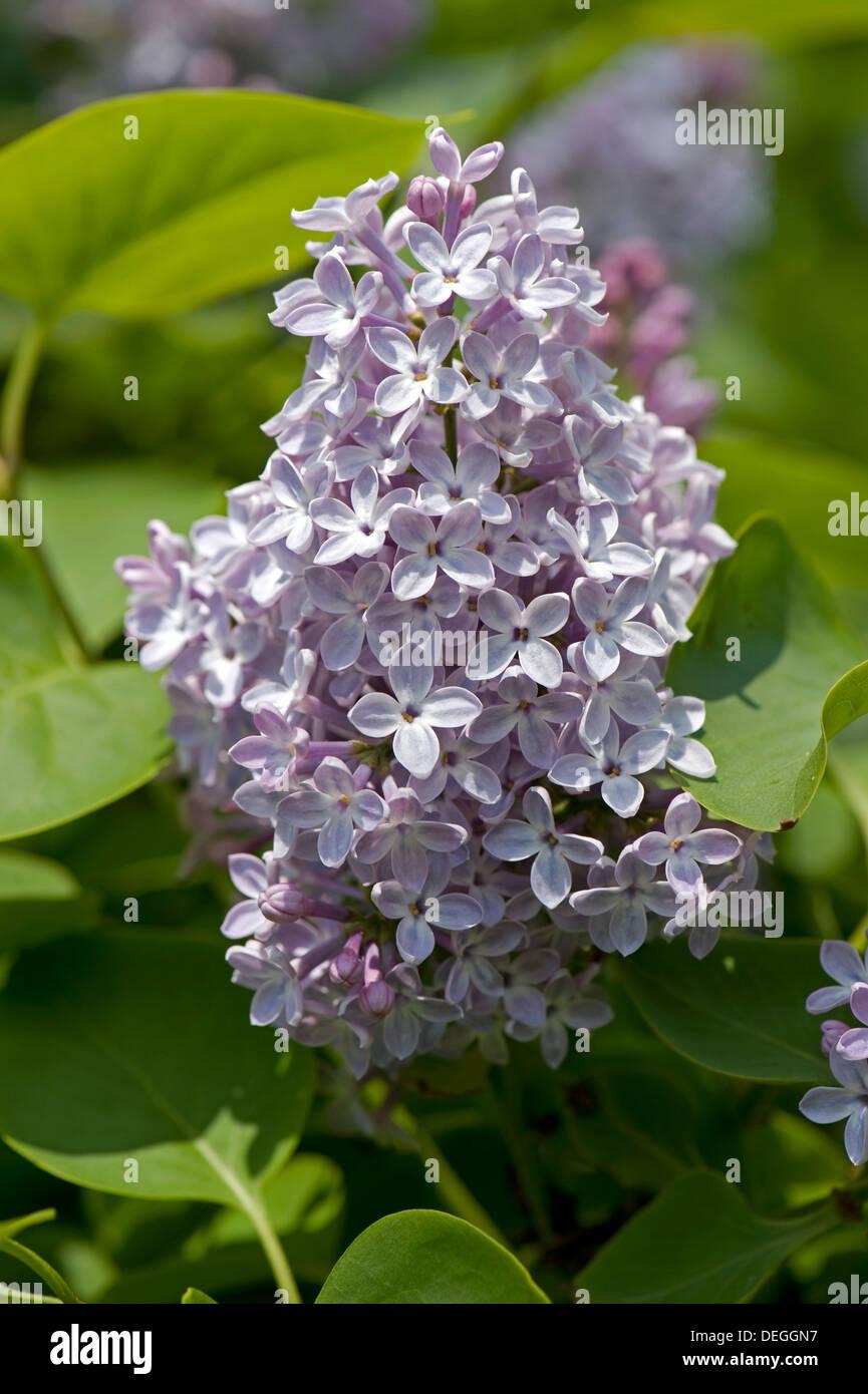 Common lilac, Syringa vulgaris, flower - Stock Image