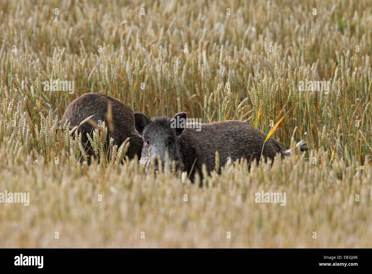 Nuisance by wild boars (Sus scrofa) trampling crop by foraging in cornfield on farmland - Stock Image