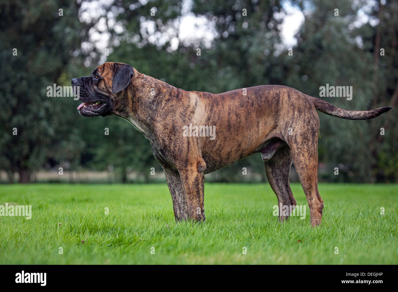 Boerboel, mastiff dog breed from South Africa in garden Stock Photo