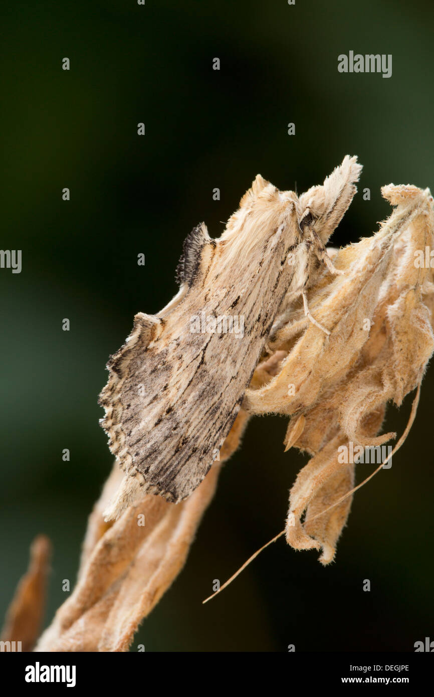 Pale Prominent Moth; Pterostoma palpina; Summer; UK - Stock Image