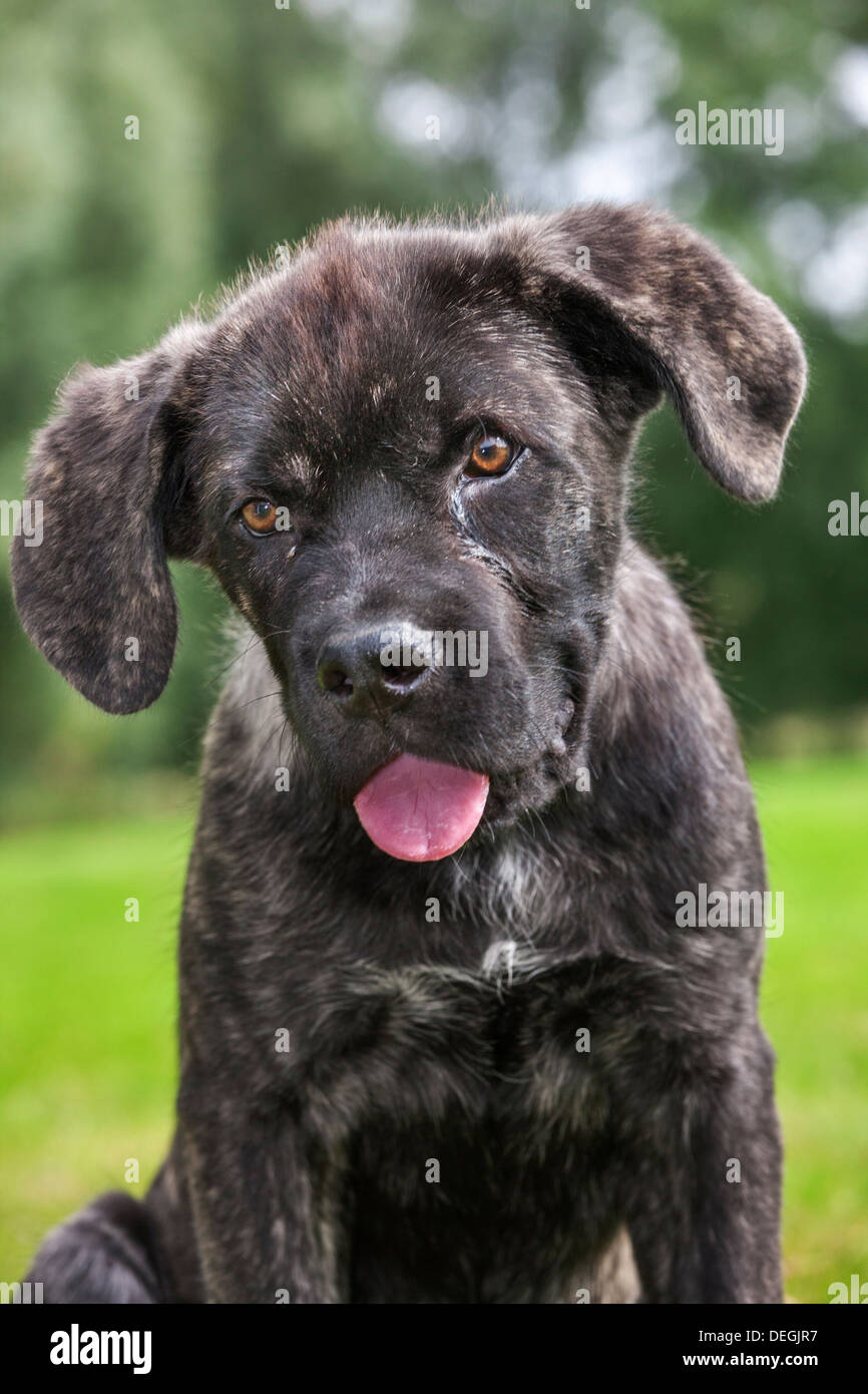 Crossbreed of Cane corso Italiano with Mastino napoletano Stock