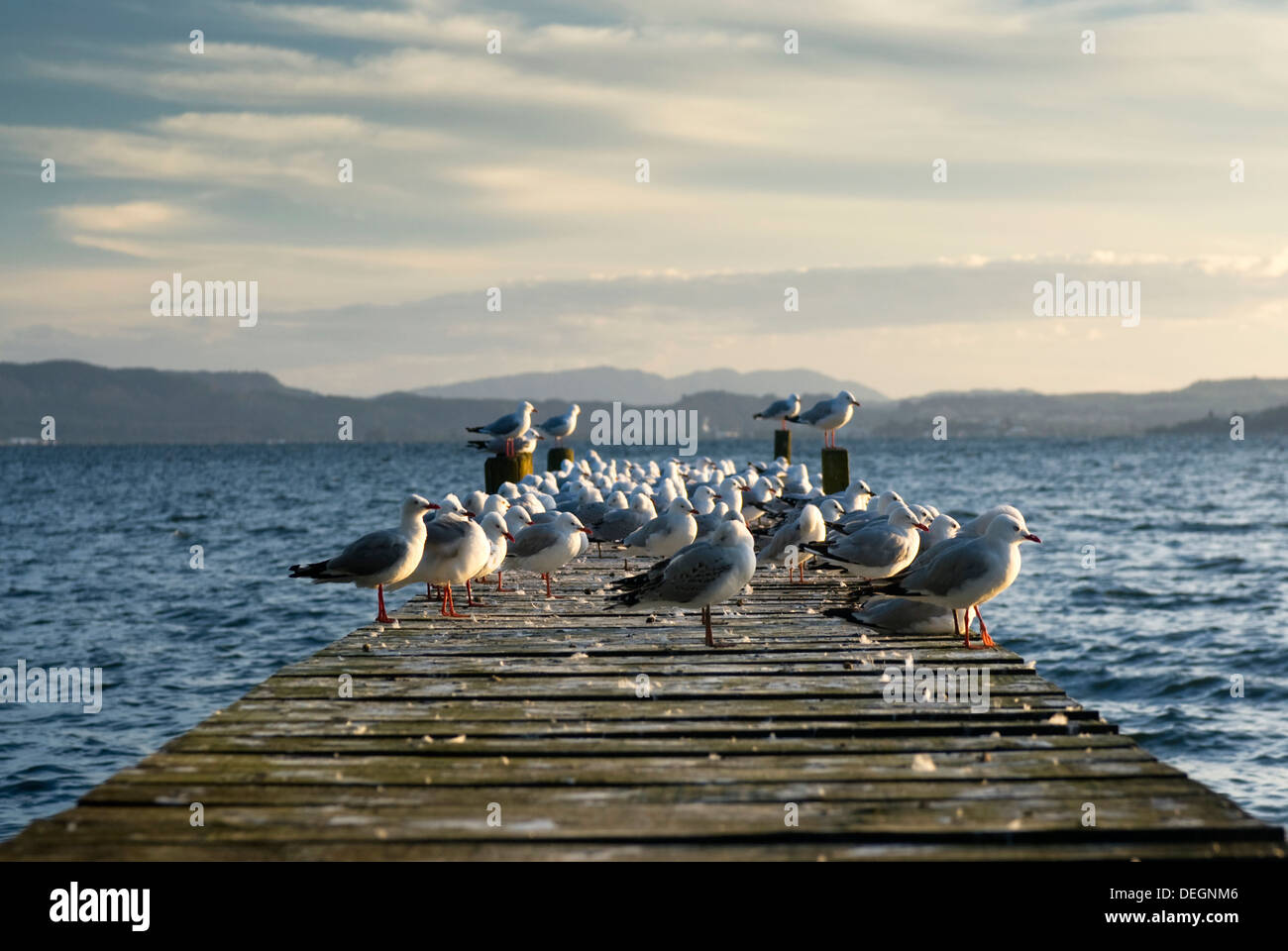 Sea gulls on jetty. Lake Rotoua, North Island, New Zealand - Stock Image