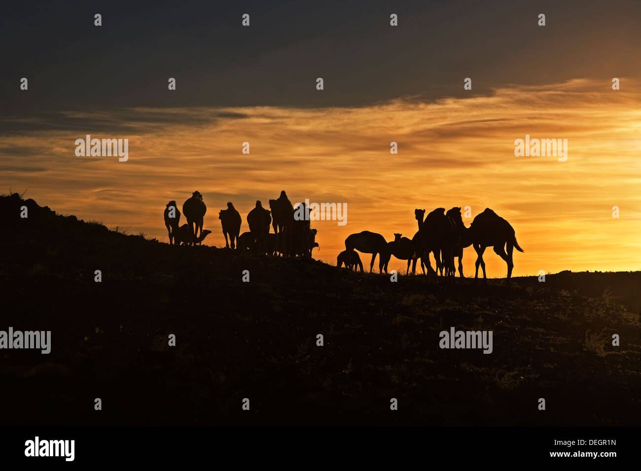 Silhouette of wild herd of dromedary camels on granite rock outcrop at sunrise, Sahara Desert, Mauritania, NW Africa - Stock Image