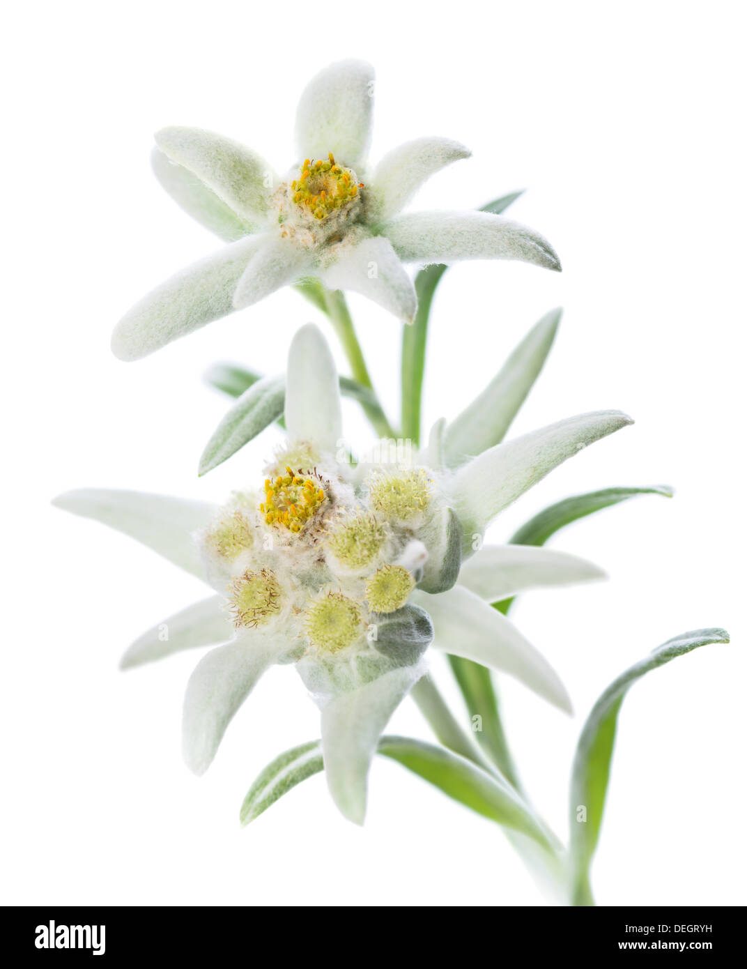 Edelweiss flowers stock photos edelweiss flowers stock images alamy two edelweiss flowers leontopodium alpinum isolated over white stock image mightylinksfo