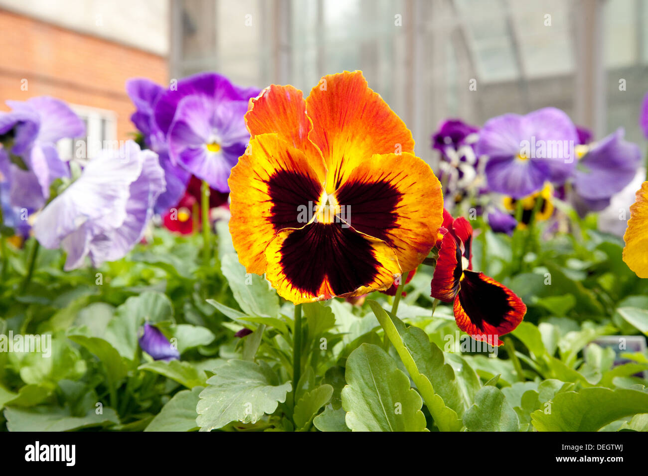 Colorful pansies in flower, UK - Stock Image
