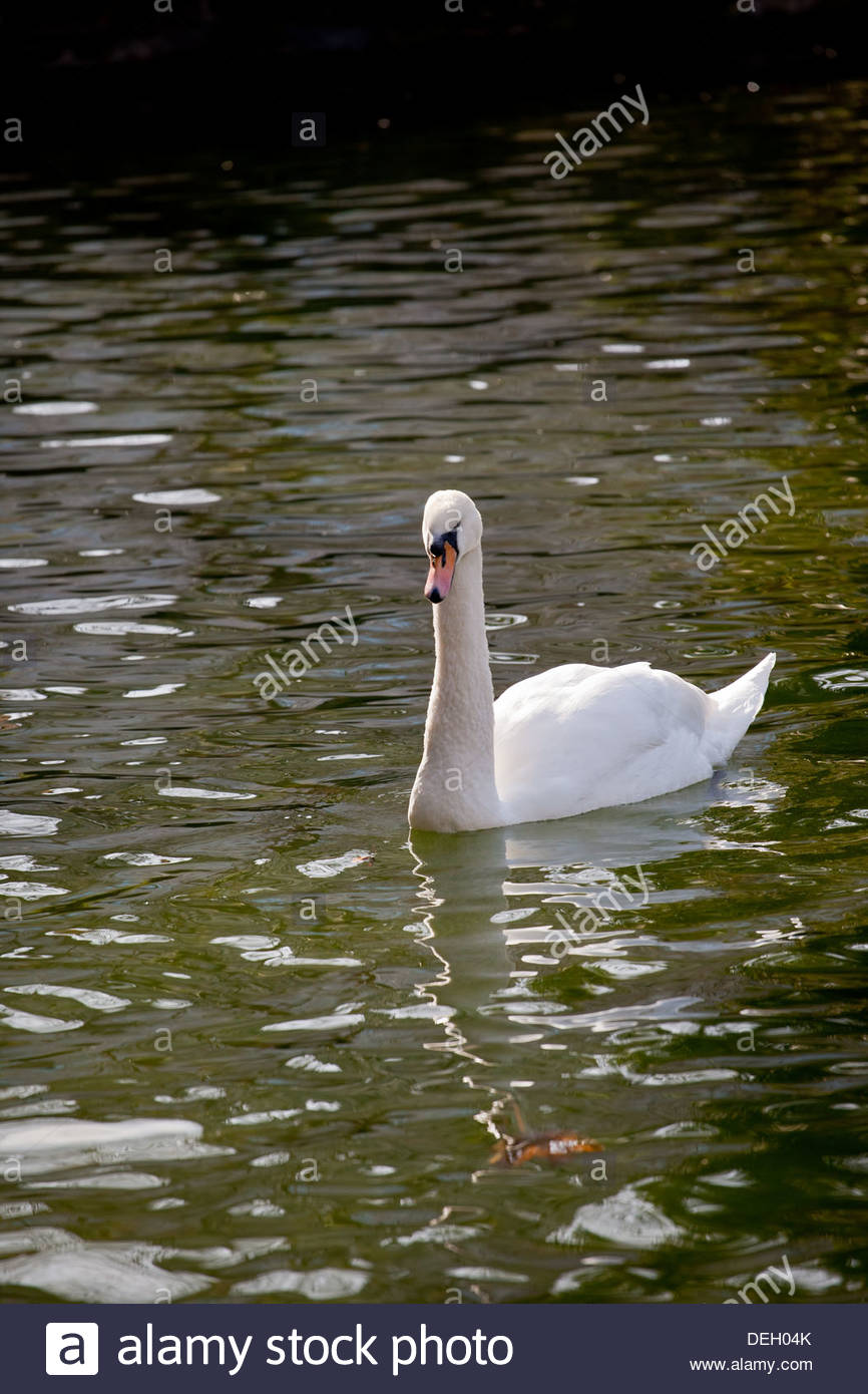 White swan ( Cygnus olor ) swimming in the lake of Campo Grande park, in the center of Valladolid, Castilla y Leon, Spain. - Stock Image