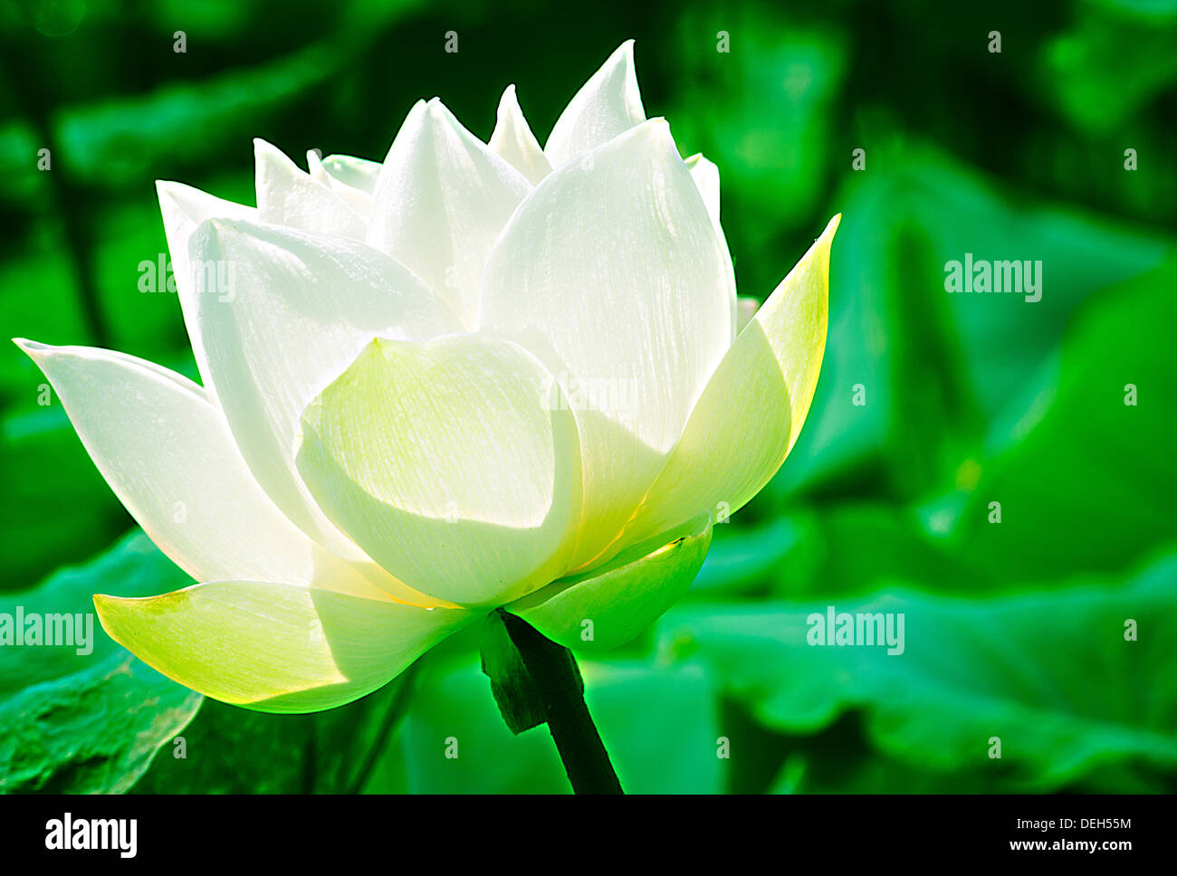 White lotus in basin mean purity or pure heart of people or stock white lotus in basin mean purity or pure heart of people or societyai and buddhist use to worship the buddha izmirmasajfo