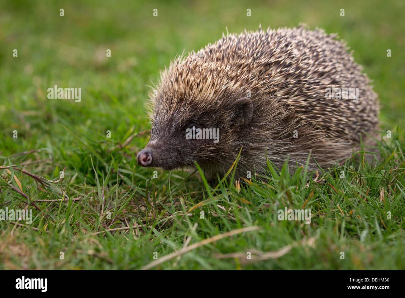 Hedgehog walking on grass - Stock Image
