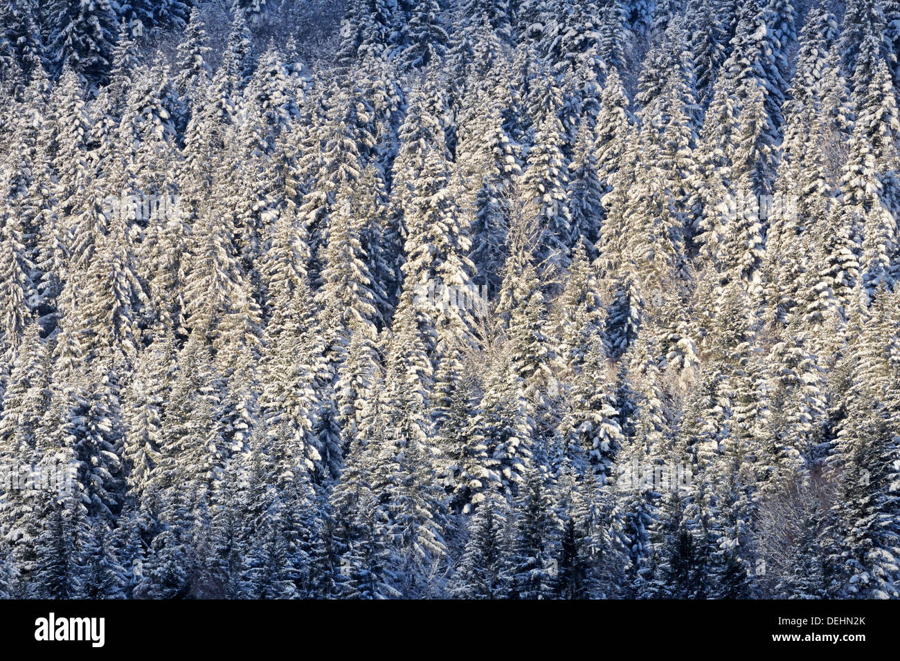 View on a mountain landscape with snow covered pines and a streak of sunlight. - Stock Image