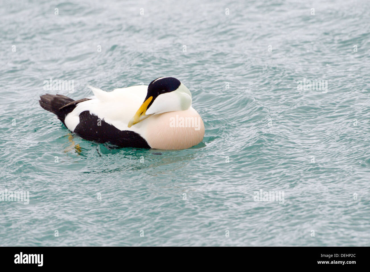 Common eider in water with wind blowing over water. - Stock Image