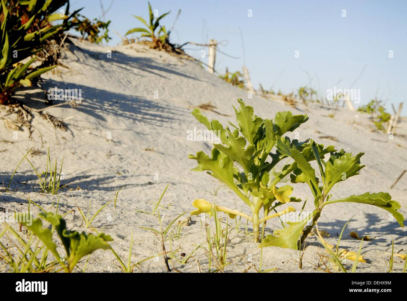 A plant stakes out its spot on dunes, Long Beach Island, New Jersey, USA. - Stock Image