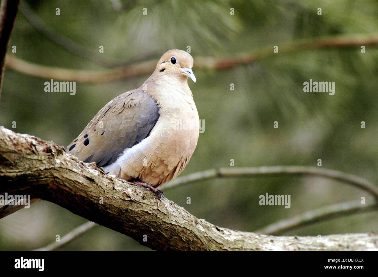 A plump mourning dove (Zenaida macroura) relaxes on a high branch, Pennsylvania, USA. - Stock Image