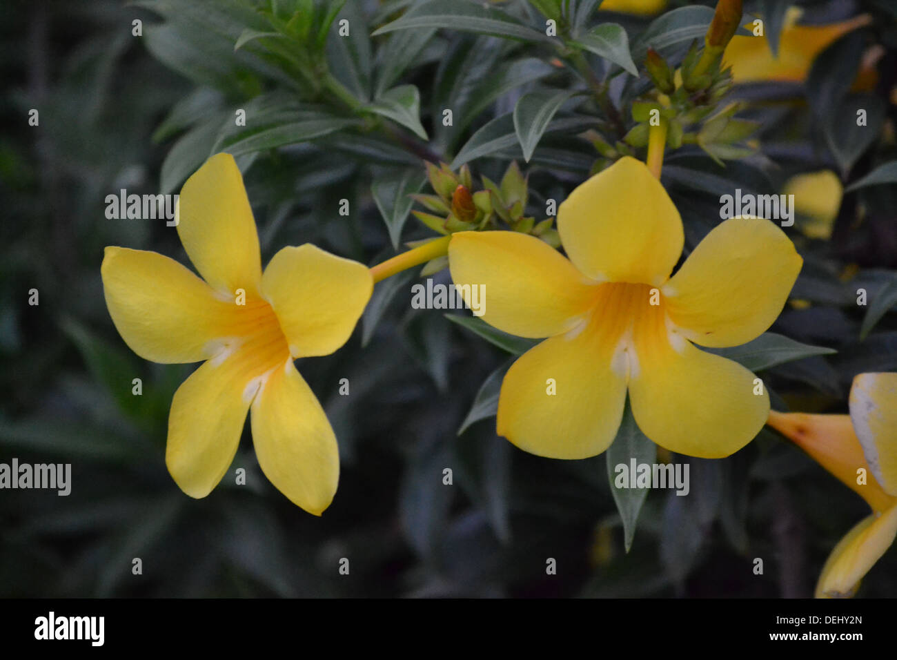 beautiful flowers, represents friendship, relation, togetherness, liveliness, evening stars, - Stock Image