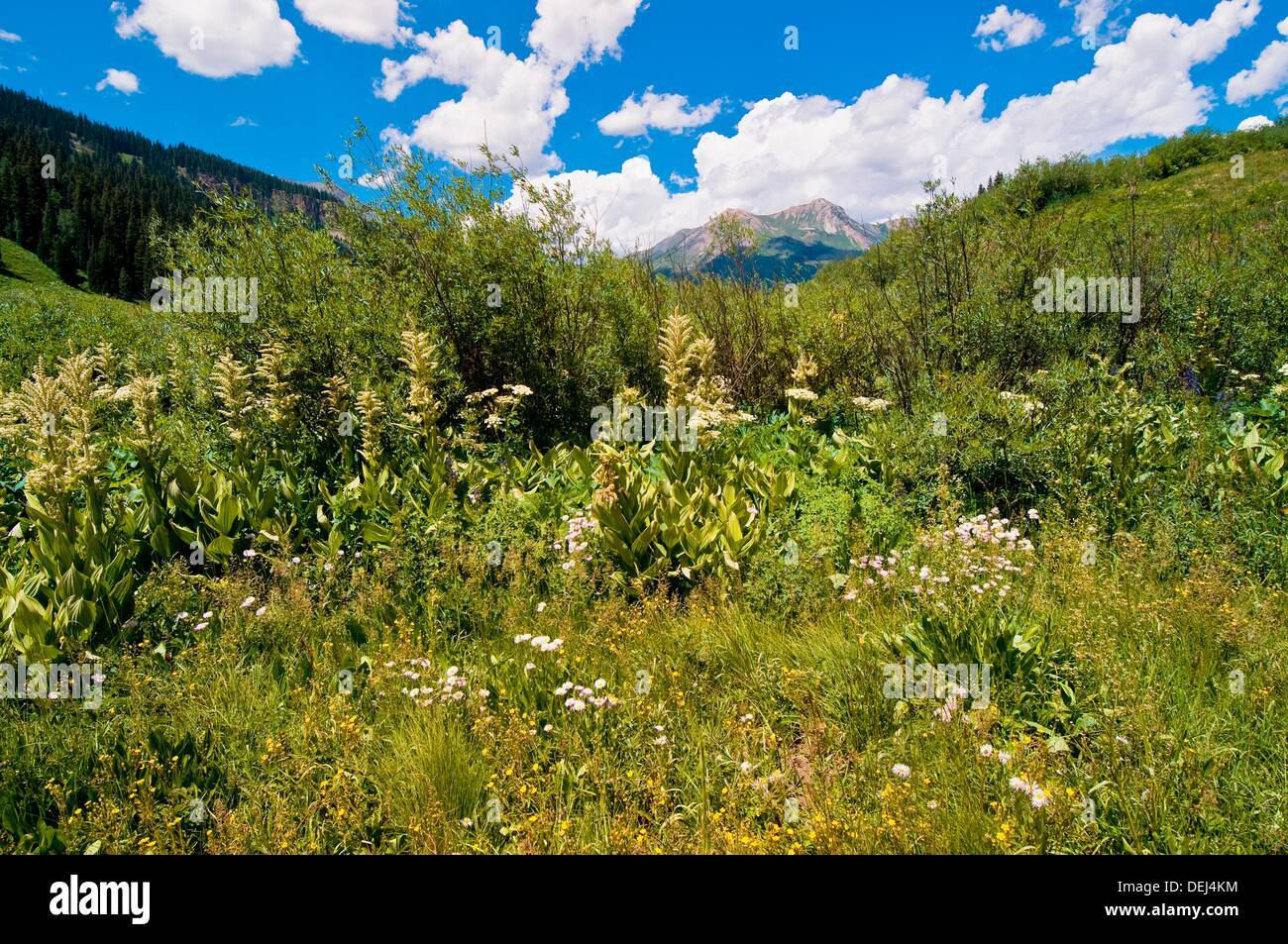Wildflowers near Gothic near Crested Butte, Colorado USA - Stock Image