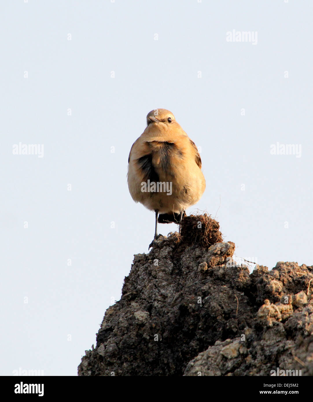 Female Northern Wheatear (Oenanthe Oenanthe) posing on a pile of dirt Stock Photo
